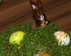Świąteczny stroik z rzeżuchy